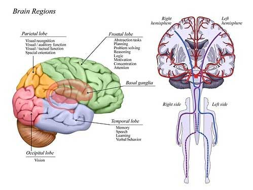 Brain Regions Chart - Attorneys in Phoenix, AZ