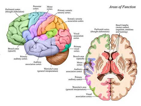 Areas of Brain Function Chart - Attorneys in Phoenix, AZ
